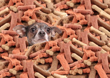 Chihuahua buried in dog bones Royalty Free Stock Image
