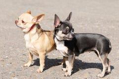 chihuahua być prześladowanym dwa Fotografia Royalty Free