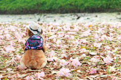 Chihuahua, cão pequeno Fotos de Stock