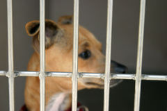 Chihuahua in a cage at the animal shelter. Waiting to be adopted stock images
