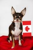 Chihuahua canadiense Fotos de archivo libres de regalías