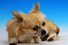 Chihuahua - cane Immagine Stock Libera da Diritti