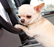 Chihuahua in the car Stock Photography