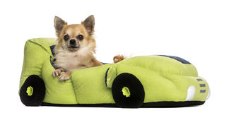 Chihuahua in a car shaped bed, isolated Stock Photo