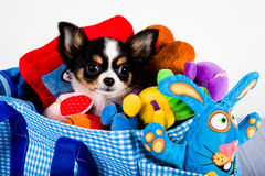 Chihuahua in a carrying bag. With toys Royalty Free Stock Images