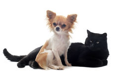 Chihuahua and cat. Portrait of a cute purebred chihuahua and cat in front of white background Stock Photography