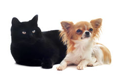 Chihuahua and cat. Portrait of a cute purebred chihuahua and cat in front of white background Royalty Free Stock Photos