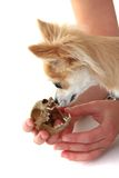 Chihuahua and cat skull Royalty Free Stock Image