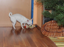 Chihuahua celebrates Christmas and plays with  their new  gift Royalty Free Stock Image