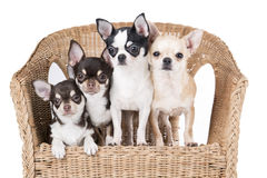 Chihuahua in a chair Royalty Free Stock Photos