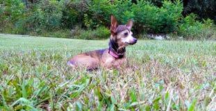 Chihuahua che gode di un giorno di estate piacevole Immagine Stock