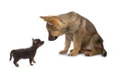Chihuahua che incontra il pastore di Germand Fotografia Stock