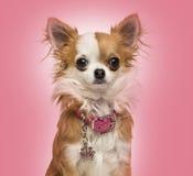 Chihuahua che indossa un collare brillante, seduta, 7 mesi Immagine Stock