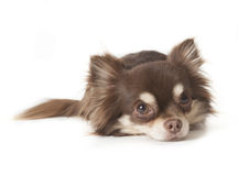 Chihuahua Immagine Stock