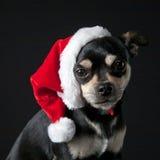 Chihuahua che porta il cappello della Santa Fotografia Stock