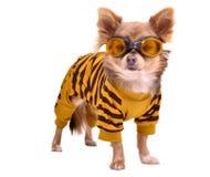 Chihuahua che porta vestito e gli occhiali di protezione gialli fotografia stock libera da diritti