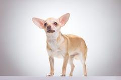 Chihuahua che posa, fondo bianco, colpo dello studio Fotografie Stock Libere da Diritti