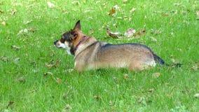 Chihuahua che risiede nell'erba Fotografia Stock Libera da Diritti