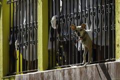 Chihuahua che scorteccia alla macchina fotografica attraverso l'inferriata del balcone immagine stock