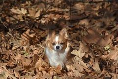 Chihuahua che si siede nelle foglie Immagini Stock