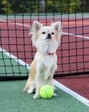 Chihuahua che si siede in una corte di tennis Fotografia Stock Libera da Diritti