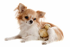 Chihuahua and chick Royalty Free Stock Photography