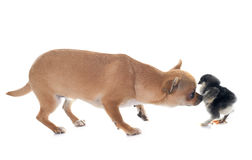 Chihuahua and chick Royalty Free Stock Image