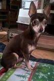 Chihuahua Royalty Free Stock Image
