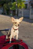 Chihuahua or chiwawa dog Royalty Free Stock Photography