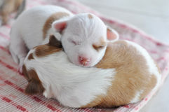 Chihuahua Chloe newborn. The puppies are 2 days old in this picture Stock Photography