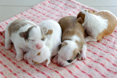 Chihuahua Chloe newborn. The puppies are two weeks old in this picture Royalty Free Stock Image