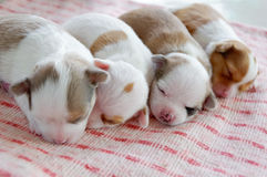 Chihuahua Chloe newborn. The puppies are two weeks old in this picture Stock Photo