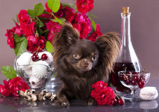 Chihuahua,  chocolate color Royalty Free Stock Photo