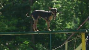 Chihuahua chodzi na desce zbiory wideo