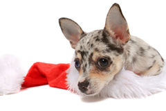 Chihuahua christmas Stock Photos