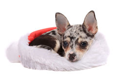 Chihuahua christmas Stock Photography