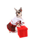 Chihuahua christmas Royalty Free Stock Image