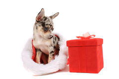 Chihuahua christmas Stock Images