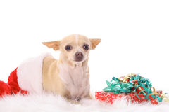 Chihuahua christmas. Photo of a chihuahua christmas Stock Photography