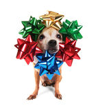 A chihuahua with christmas bows on his head Royalty Free Stock Image
