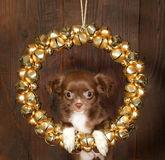 Chihuahua christmas dog Royalty Free Stock Photo