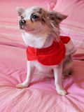 Chihuahua with Christmas dress Stock Image