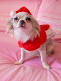 Chihuahua with Christmas dress 2 Stock Photos