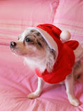 Chihuahua with Christmas dress 3 Stock Images