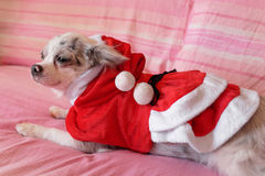 Chihuahua with Christmas dress 4 Royalty Free Stock Image