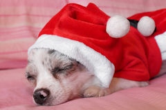 Chihuahua with Christmas dress 5 Royalty Free Stock Photos