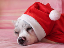 Chihuahua with Christmas dress 6 Stock Images