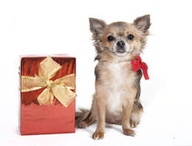Chihuahua with christmas gift. Chihuahua dog with christmas gift, background white Stock Photography
