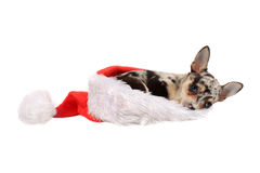 Chihuahua in christmas hat Royalty Free Stock Photography
