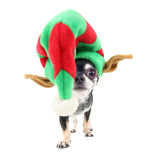Chihuahua with a christmas hat on Stock Photo